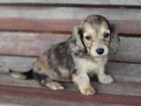 Beautiful longhair cream dapple dachshund ( female).
