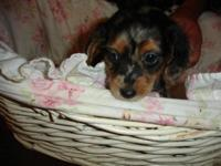 Beautiful silver and black dapple puppy. One male with