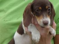 AKC registered chocolate piebald female mini dachshund