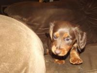 akc mini dachshund puppy three zero three seven one