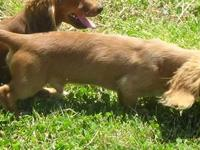 AKC registered male red long hair mini dachshund puppy,