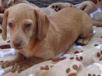 AKC registered light red male mini dachshund puppy,
