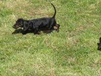 AKC registered black and tan smooth mini dachshund