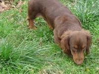 AKC registered chocolate and tan mini long hair male