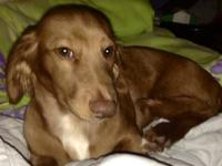 Beautiful, intelligent, kind hearted Male Dachshund 5