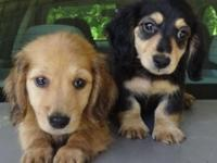 We have two Males. They are AKC, longhaired, cream, and
