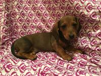 i have 5 exceptional Dachshund Pups who are still