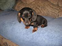 Mini DACHSHUND pups, AKC, Piebald male, and Black/Tan
