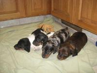 DACHSHUND pups, Mini, AKC, 2 litters, first and 2nd