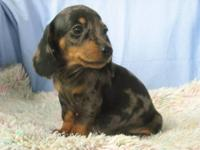 We have a shorthair miniature Dachshund dapple male. He