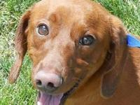 Dachshund - Quincy - Small - Young - Male - Dog