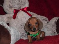 "Dachshund "" Mini "" Short Coat Male & Female Pups, 8"