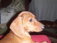 Home-raised,beautiful red short-haired female dachshund