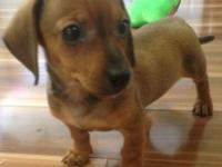 Extremely small red male young puppy. He will only have