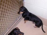 Dachshund - Reeves - Small - Adult - Male - Dog Hello,