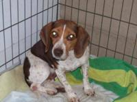 Dachshund - Rose (adoption Pending) - Small - Adult -