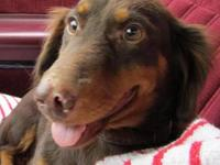 mini dachshund Pets and Animals for sale in Texas - Puppy and kitten