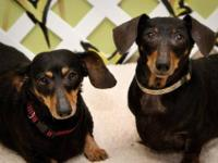 Dachshund - Ruby - Small - Adult - Female - Dog If you