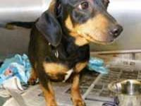 Dachshund - Sadie's Pups - Medium - Baby - Male - Dog
