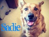 Dachshund - Sadie - Small - Adult - Female - Dog This