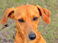 Dachshund - Sally - Small - Adult - Female - Dog Hello