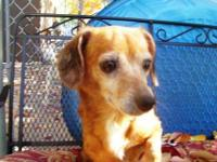 Dachshund - Sarah - Small - Senior - Female - Dog Sarah