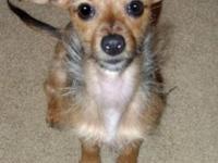 Dachshund - Sasha - Small - Young - Female - Dog My
