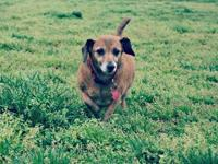 Dachshund - Schatzie - Small - Senior - Male - Dog I'M