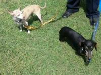 Dachshund - Schnitzel And Miss P (bonded Pair) - Small