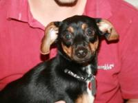 Dachshund - Scooby - Small - Young - Male - Dog Hi! My