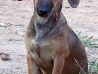 Dachshund - Shy Ann - Small - Young - Female - Dog Shy