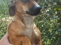 Dachshund - Stretch - Small - Young - Male - Dog