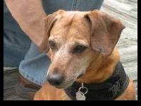 Dachshund - Telly (md) - Small - Senior - Male - Dog