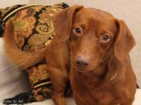Dachshund - Theodore - Small - Baby - Male - Dog