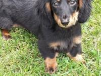 Longhaired black and tan male 5 months old CKC