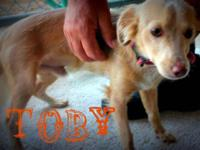 Dachshund - Toby - Small - Young - Male - Dog Come meet