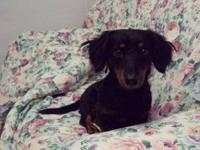 Dachshund - Travis - Small - Young - Male - Dog