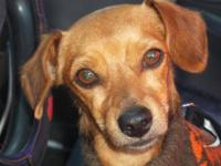 Dachshund - Trisco - Small - Young - Male - Dog Trisco