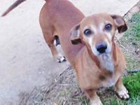 Dachshund - Trixie - Small - Adult - Female - Dog