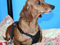 Dachshund - Tyrone - Medium - Adult - Male - Dog Out of
