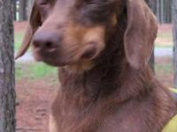 Dachshund - Vienna - Small - Adult - Female - Dog If