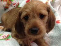 Wire hair male dachshund puppy Registered ACA comes