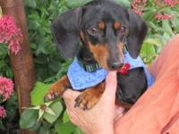 Dachshund - Ziggy - Small - Young - Male - Dog ZIGGY.