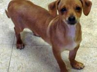 Dachshund - Autumn Ny - Small - Baby - Female - Dog