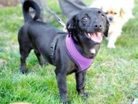 Dachshund - Cali - Small - Young - Female - Dog MY