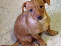 Dachshund - Cinnamon Ct - Small - Baby - Female - Dog