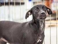 Dachshund - Corona - Medium - Young - Male - Dog Corona