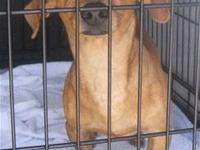 Dachshund - Dane - Medium - Adult - Male - Dog