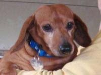 Dachshund - Hillshire - Small - Young - Male - Dog My