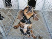 Dachshund - Kringle - Small - Adult - Male - Dog He is
